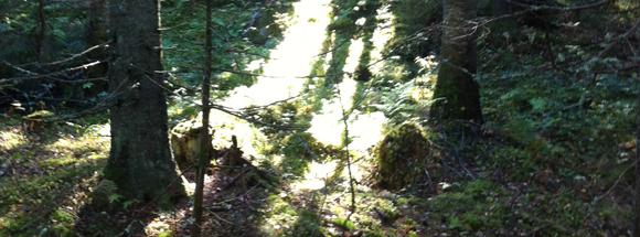 skogsglanta